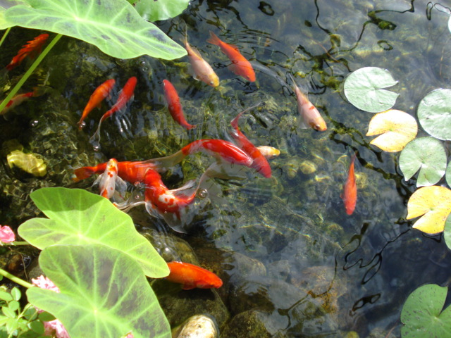 A number of firsts hearing elmo for Goldfish pond plants