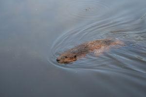 swimming-beaver-344367-m